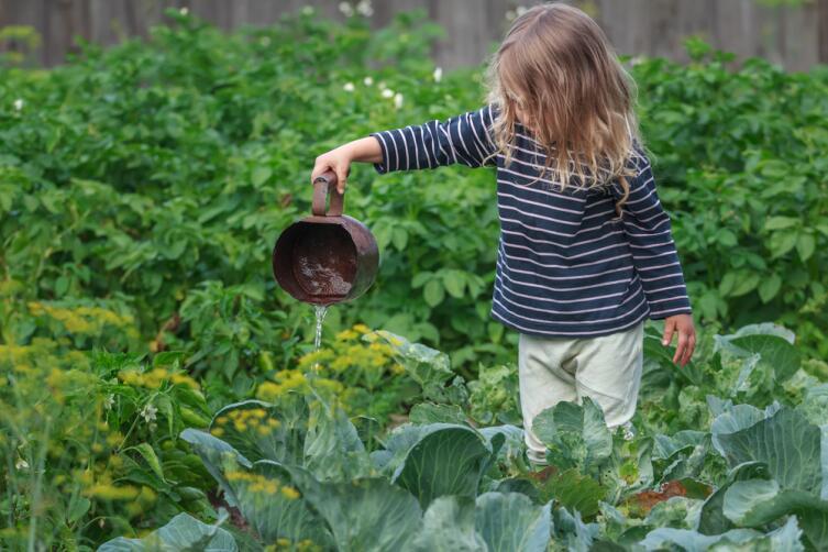 Лучший предшественник для капусты — картофель