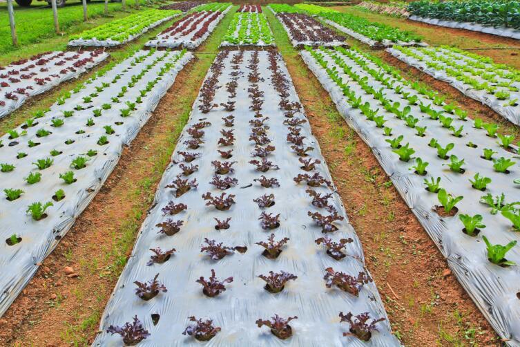 Как избежать «битвы за урожай» на дачном участке? Выращивание капусты