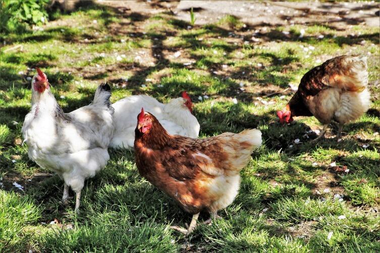 Куриный помет - натуральное эффективное удобрение