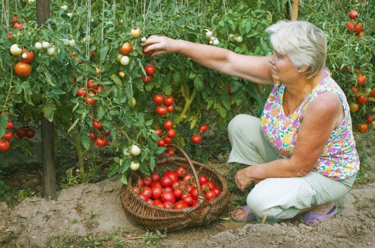 Помидор — единственный овощ, который, как малый ребенок, требует внимания и аккуратности в выращивании