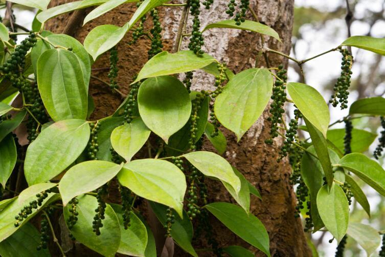 Лиана, на которой растет перец
