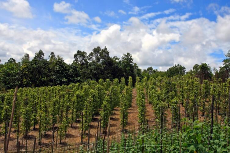 Выращивание перечных лиан на о. Борнео в Малайзии