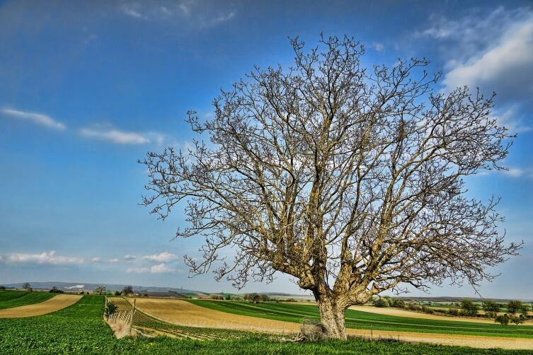 В Европе грецкий орех вырастает до 25 м высотой