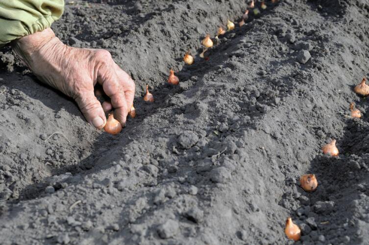 Как выращивать лук-репку на дачном участке? Практические советы