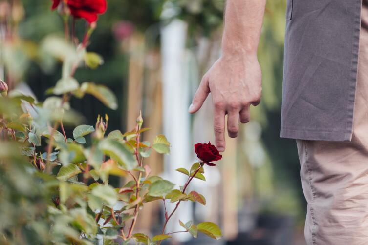 Как избавиться от тли на розах?
