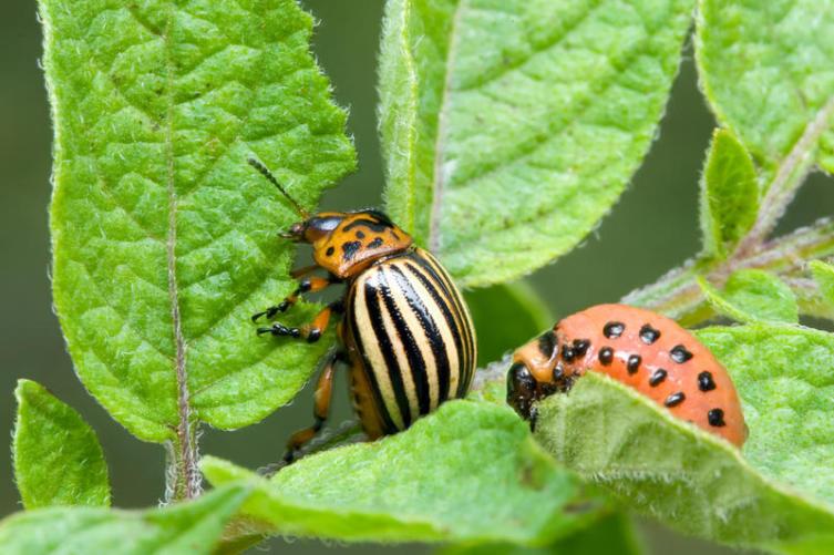 Колорадский жук и личинка (справа)
