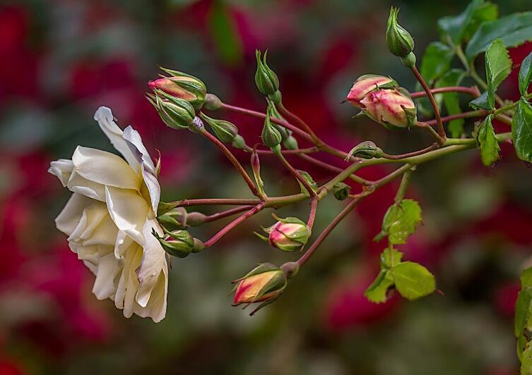 Даже если розы вьющиеся, они не вьются и не цепляются за опору, их нужно подвязывать