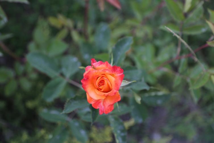 У каждого сорта свои преимущества и недостатки, но каждый цветок прекрасен