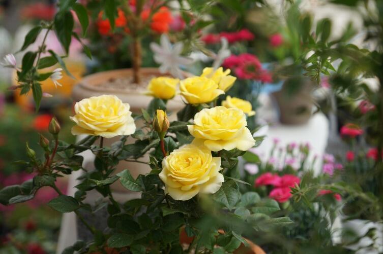 Вдоль дорожки и возле дома можно посадить низкорослые сорта
