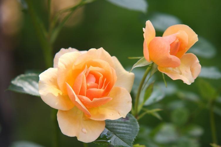 Почвопокровные розы можно использовать для оформления клумбы