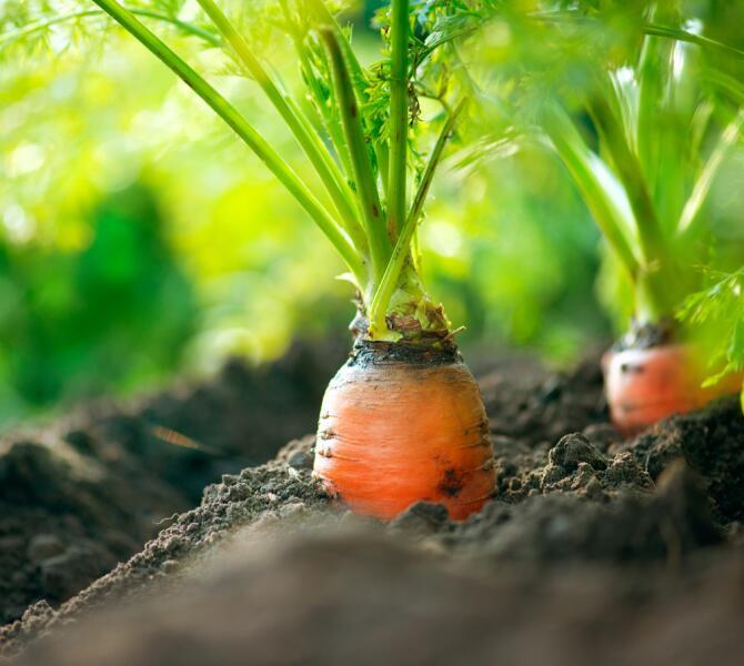 Любовь – морковь! Как вырастить хороший урожай моркови?