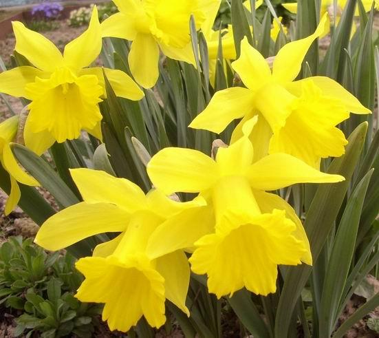 Нарциссы зацветают ранней весной...