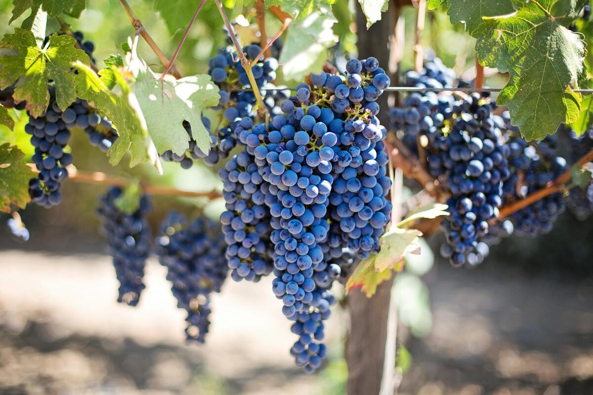 Садоводам на заметку. Как выбрать участок под виноград?