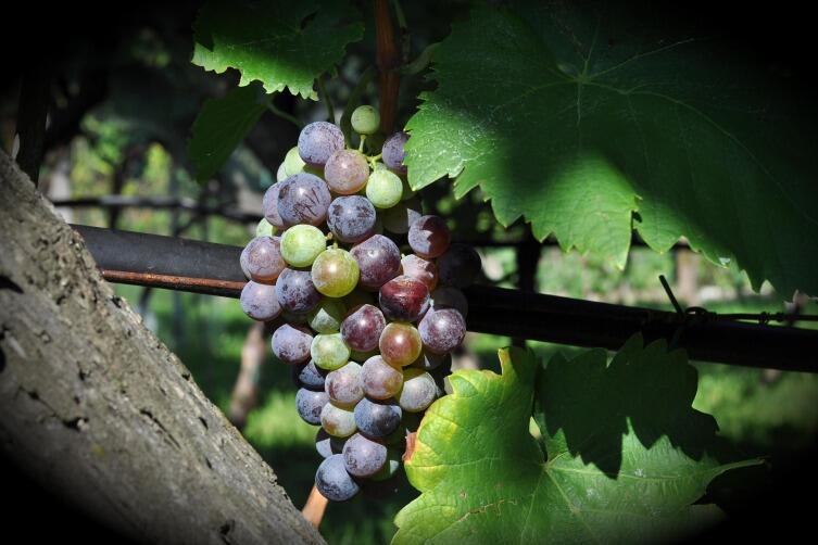 Виноград дает высокий урожай только при наличии развитой корневой системы