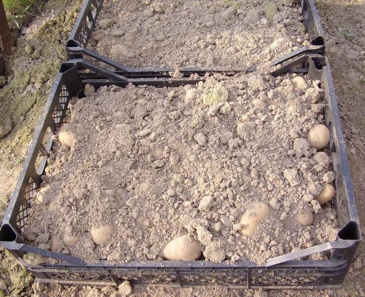 Проращиваем картофель, пересыпав землей