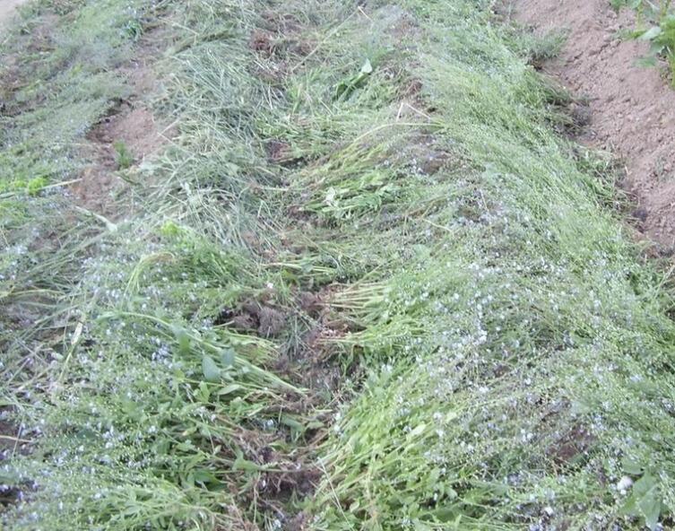 Укладывать сено можно сплошным ковром прямо на весь гребень