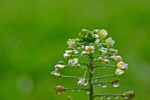 Лекарственные растения. Что находится в пастушьей сумке?