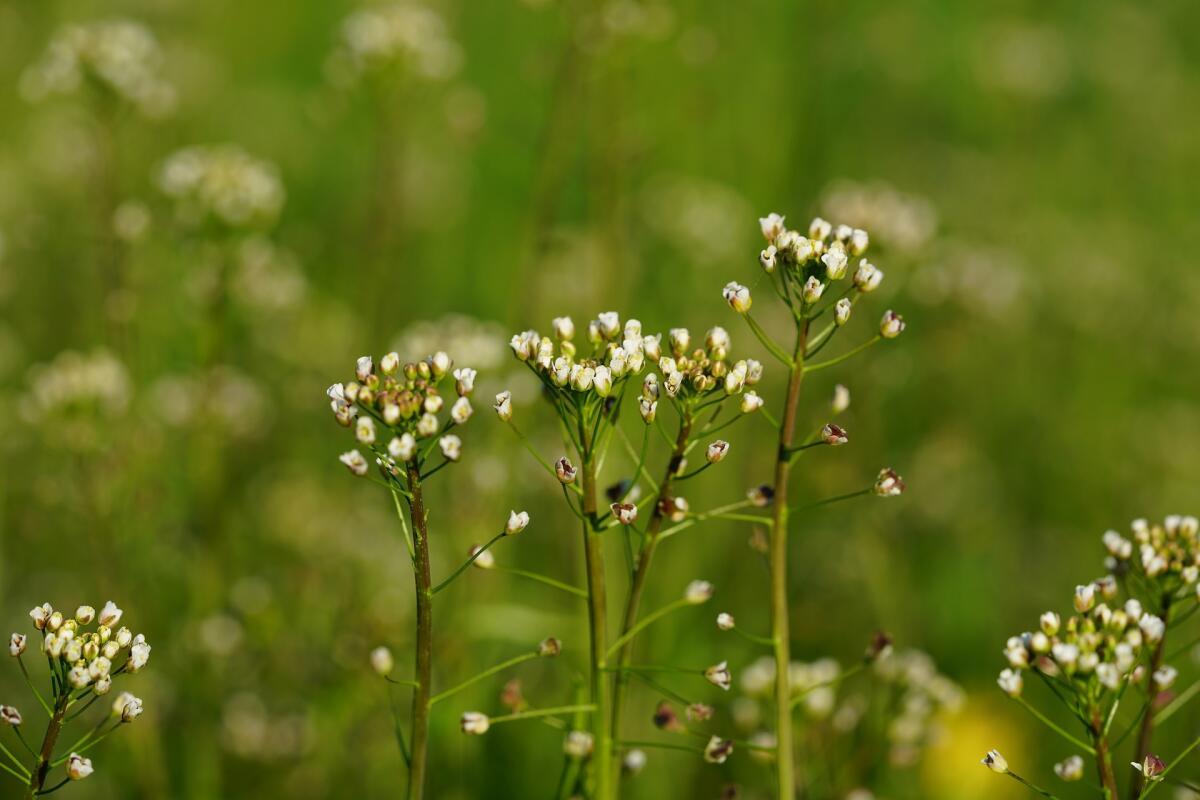 d510e3af2cfb Лекарственные растения. Что находится в пастушьей сумке? | Растения ...