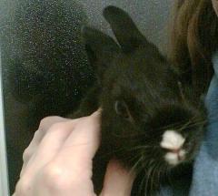 Абсолютно черный кролик с абсолютно белым носом сидел в миске с кормом и зыркал по сторонам...