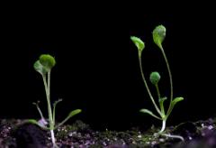 Arabidopsis thaliana, он же - резушка Таля