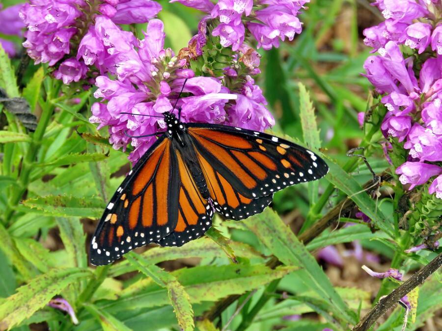 Бабочка на цветущем стахисе