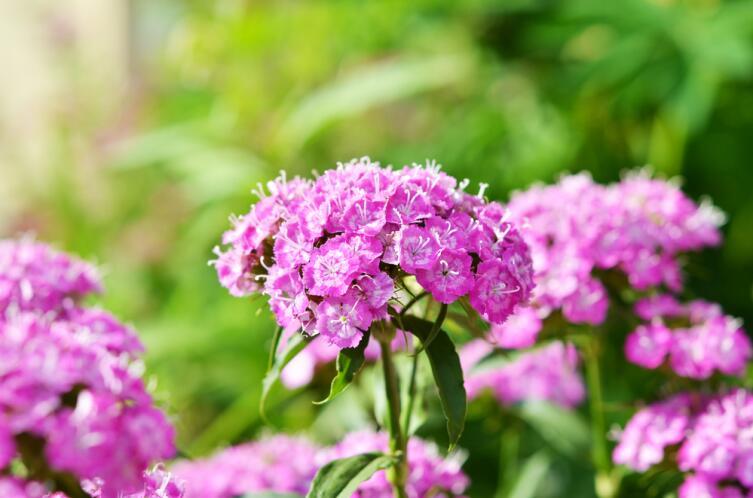 Как выращивать гвоздику в цветнике? Гвоздика турецкая