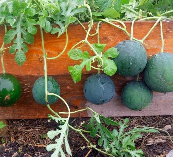 Как вырастить арбузы в открытом грунте?