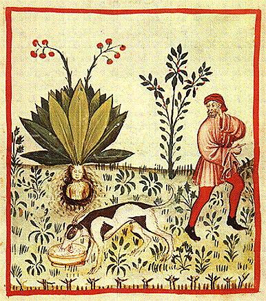 Антропоморфное изображение мандрагоры из средневекового медицинского трактата «Tacuinum sanitatis»