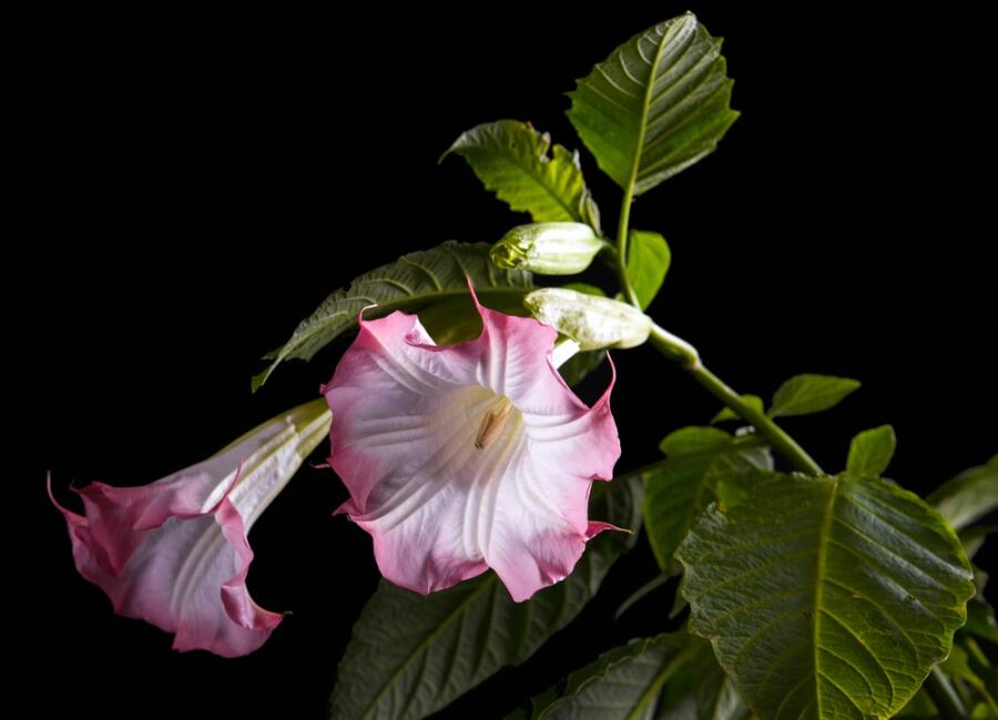 Дурман цветок