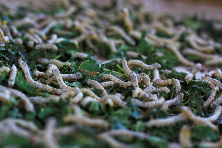 Гусеницы тутового шелкопряда
