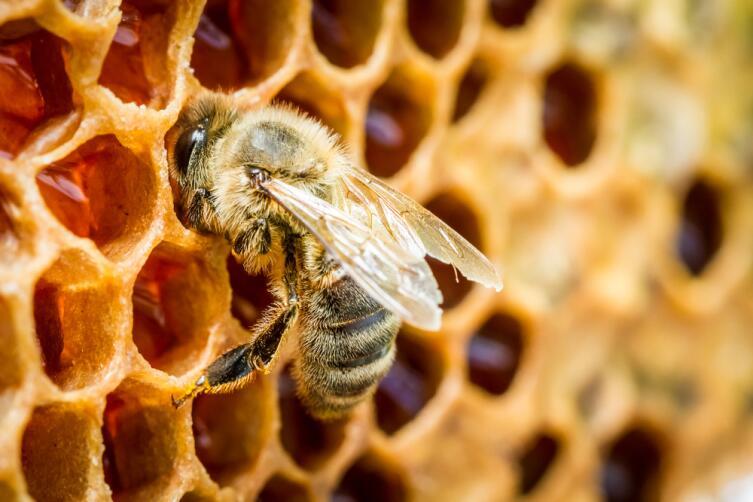Пчелы важны не только, как производители меда, но и как опылители