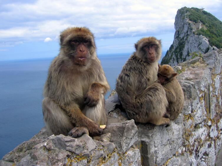 Семейство бесхвостых макак Магот, на скале Гибралтар
