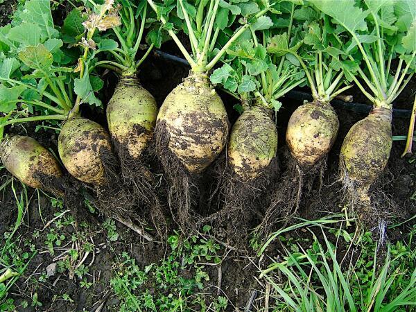 Брюква. Чем она полезна и как её выращивать?