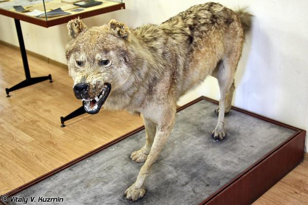 Предполагаемый предок собак, экспонат в Методико-кинологическом центре служебного собаководства ВС РФ (в/ч 32516)