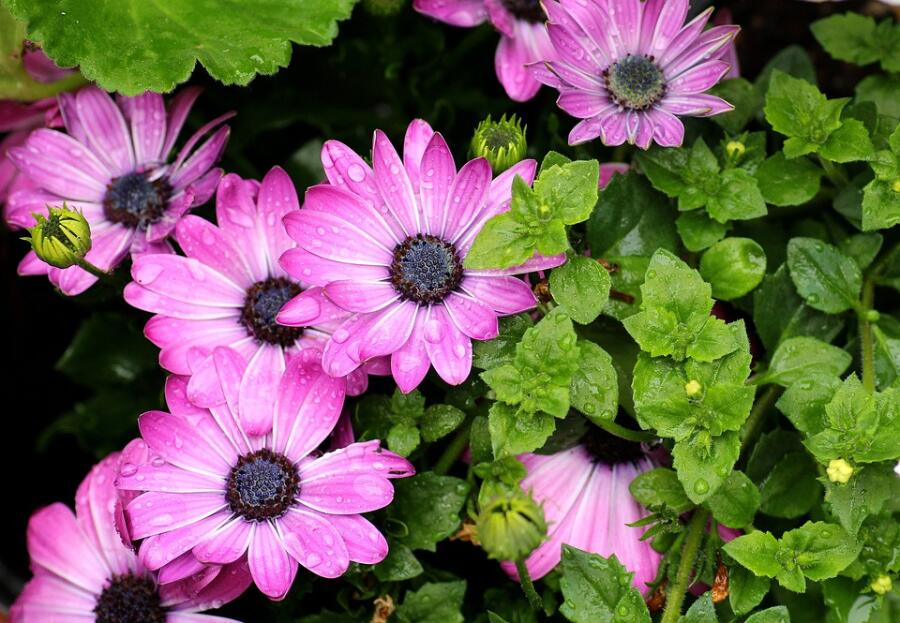 Как выращивать остеоспермум? Капская маргаритка в наших цветниках