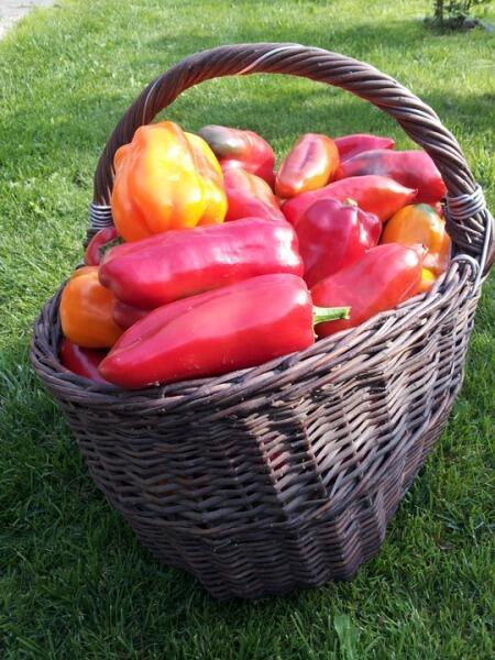Как вырастить сладкий перец на даче? Практический опыт