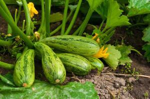 Как получить хороший урожай качественных, вкусных кабачков?