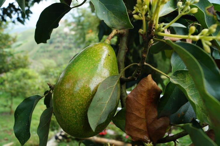 Чем хорош плод авокадо?