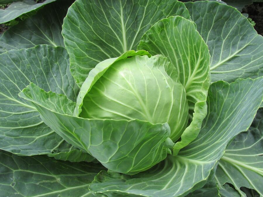 Огородные вредители: кто из них любит капусту?