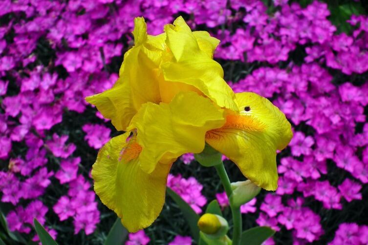 Живая радуга в саду. Как создать иридарий?