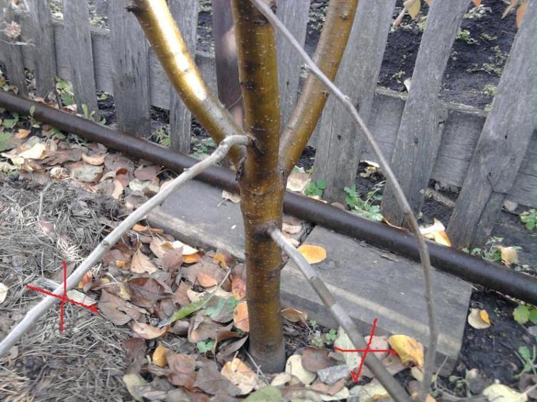 Ветви, выбранные для прикопки
