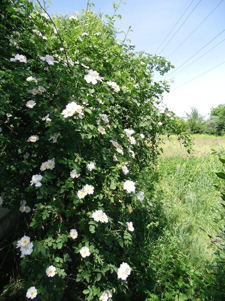 Цветёт живая изгородь