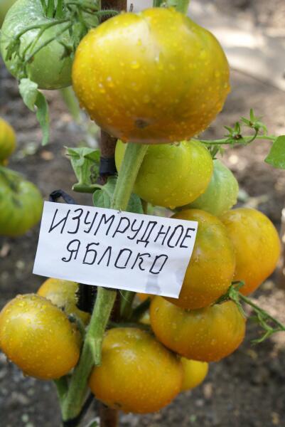 Сорт «Изумрудное яблоко»