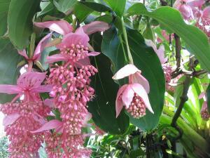 Королева тропиков — мединилла. Как её выращивать?