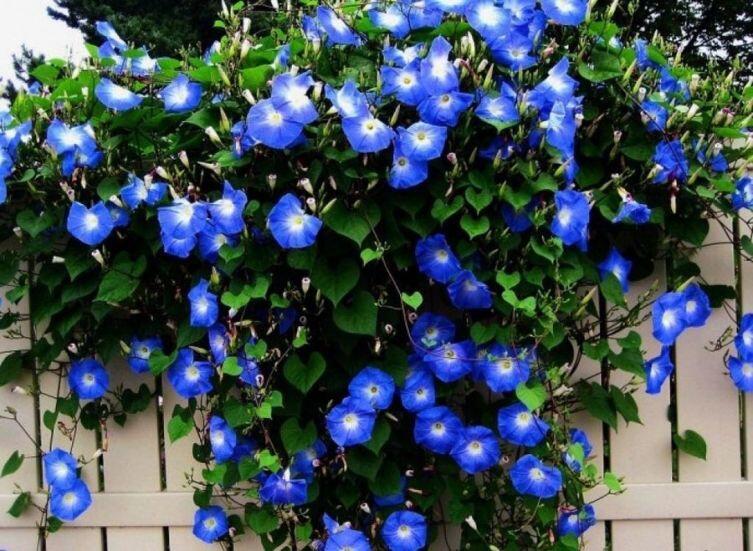 Квамоклит. Как украсить свой дворик  «звездной» лианой?