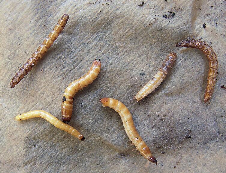 Личинка щелкуна - проволочник
