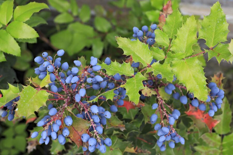 Североамериканский виноград - магония. Чем она привлекательна?