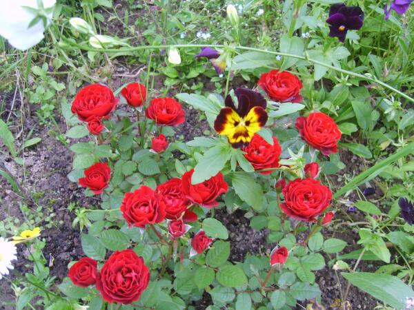 Что нужно летом королеве цветов?