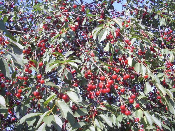 Как поливать плодово-ягодные культуры?