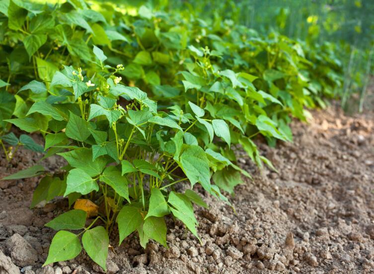 Сидераты отвлекут тлю от культурных растений